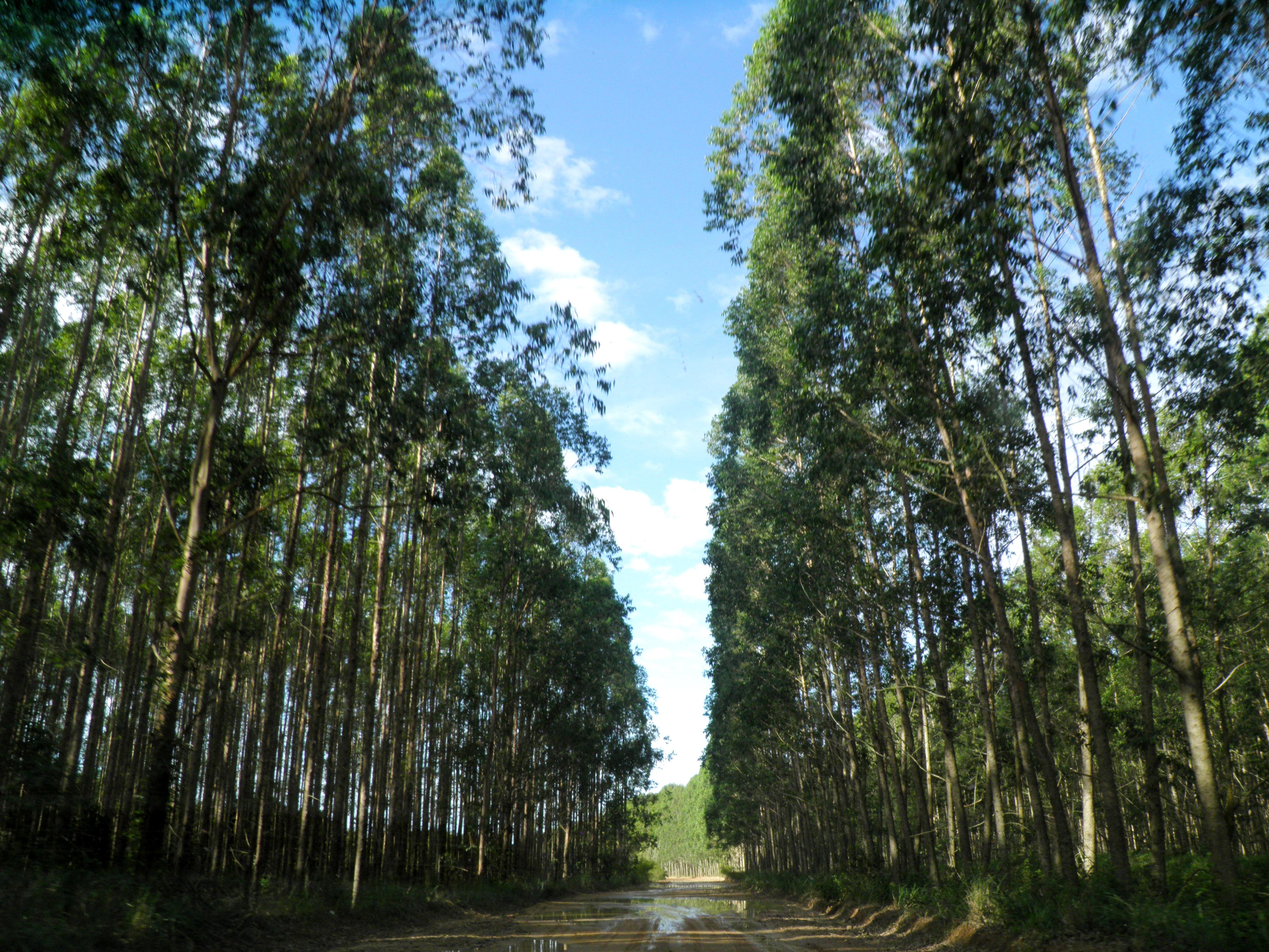 Plantação de eucalipto. (Foto: Gilka Resende / FASE)